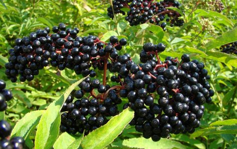 THE SECRETS OF ELDERBERRIES